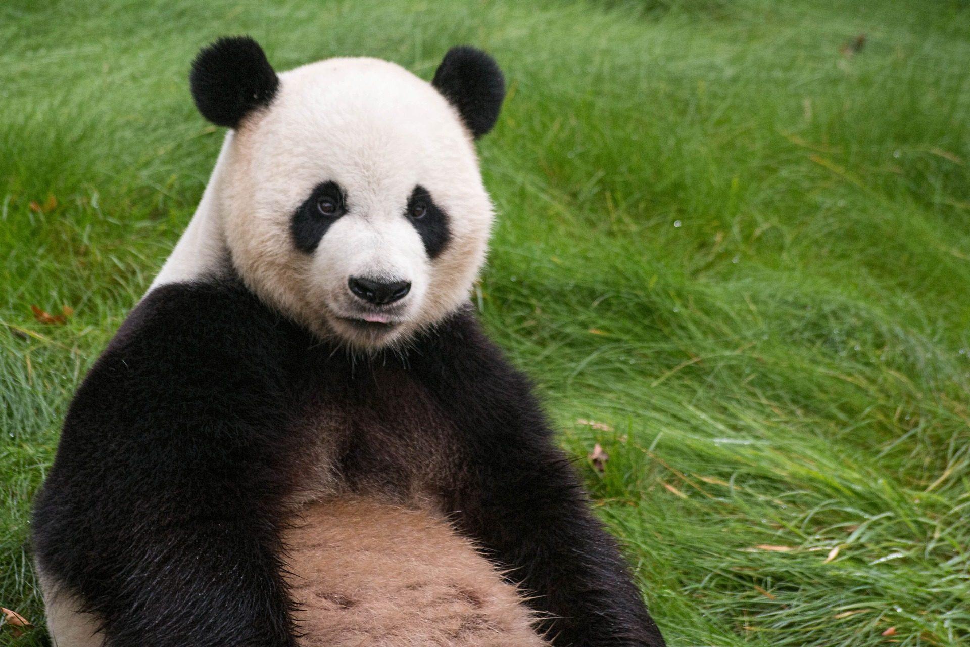 ours, Panda, fourrure, coup d'oeil, Zoo, herbe - Fonds d'écran HD - Professor-falken.com