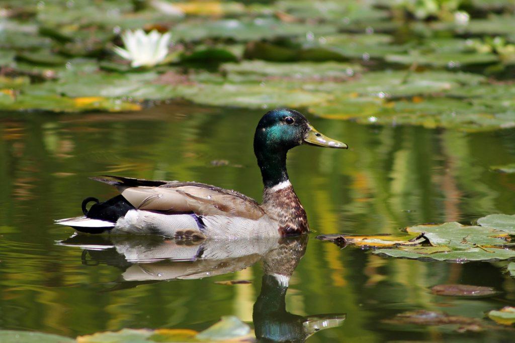 pato, ave, estanque, lago, hojas, agua, nenúfares, 1707211550