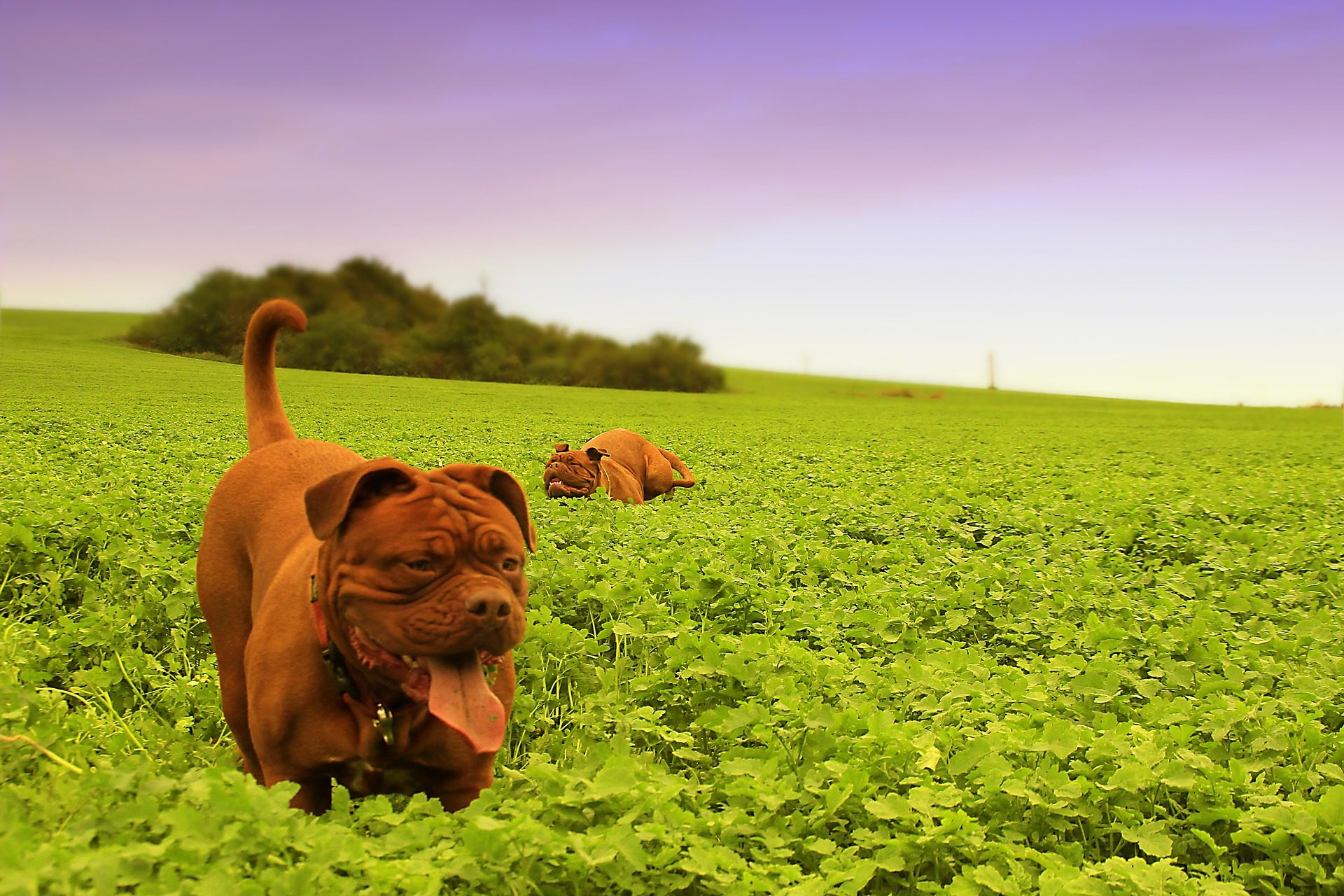 perro, dogo, burdeos, mascota, campo, juego - Fondos de Pantalla HD - professor-falken.com
