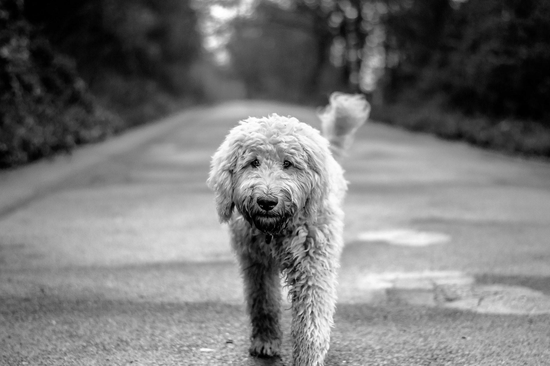 собака, Домашнее животное, друг, Мех, Дорога, в черно-белом - Обои HD - Профессор falken.com