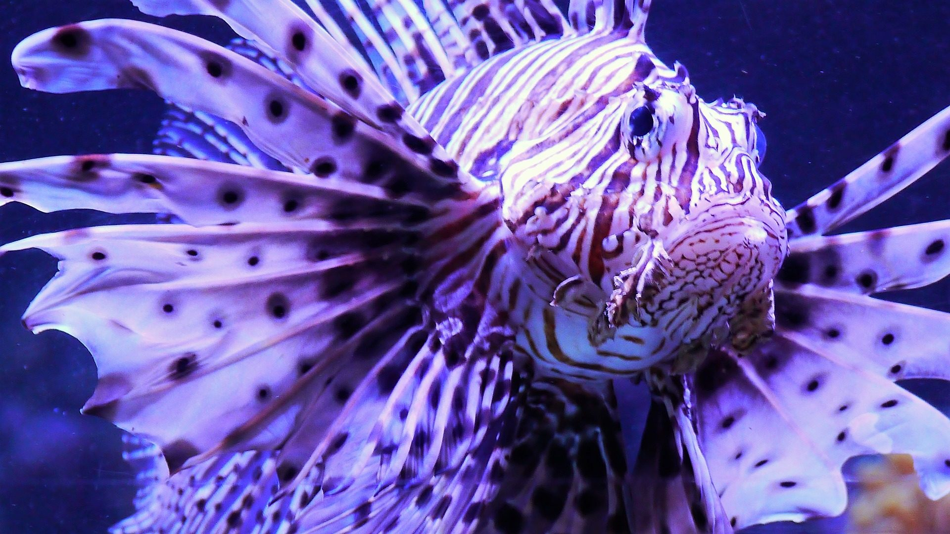peixe, Leon, Aquário, tanque de peixes, perigoso, raro - Papéis de parede HD - Professor-falken.com