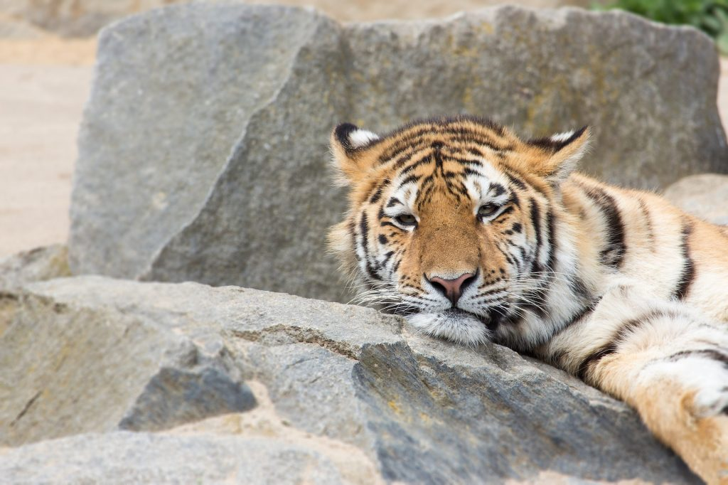 tigre, felino, descanso, adormilado, zoo, 1707211240