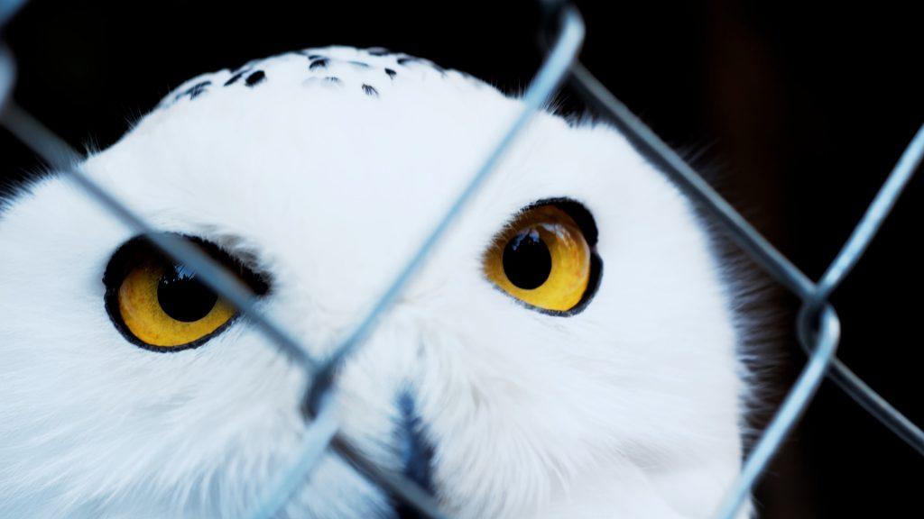 buho, lechuza, ave, rapaz, pájaro, cautividad, mirada, 1708240853