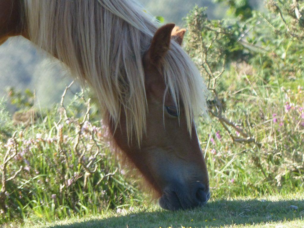 cavallo, capelli, al pascolo, campo, Pony, 1708191331
