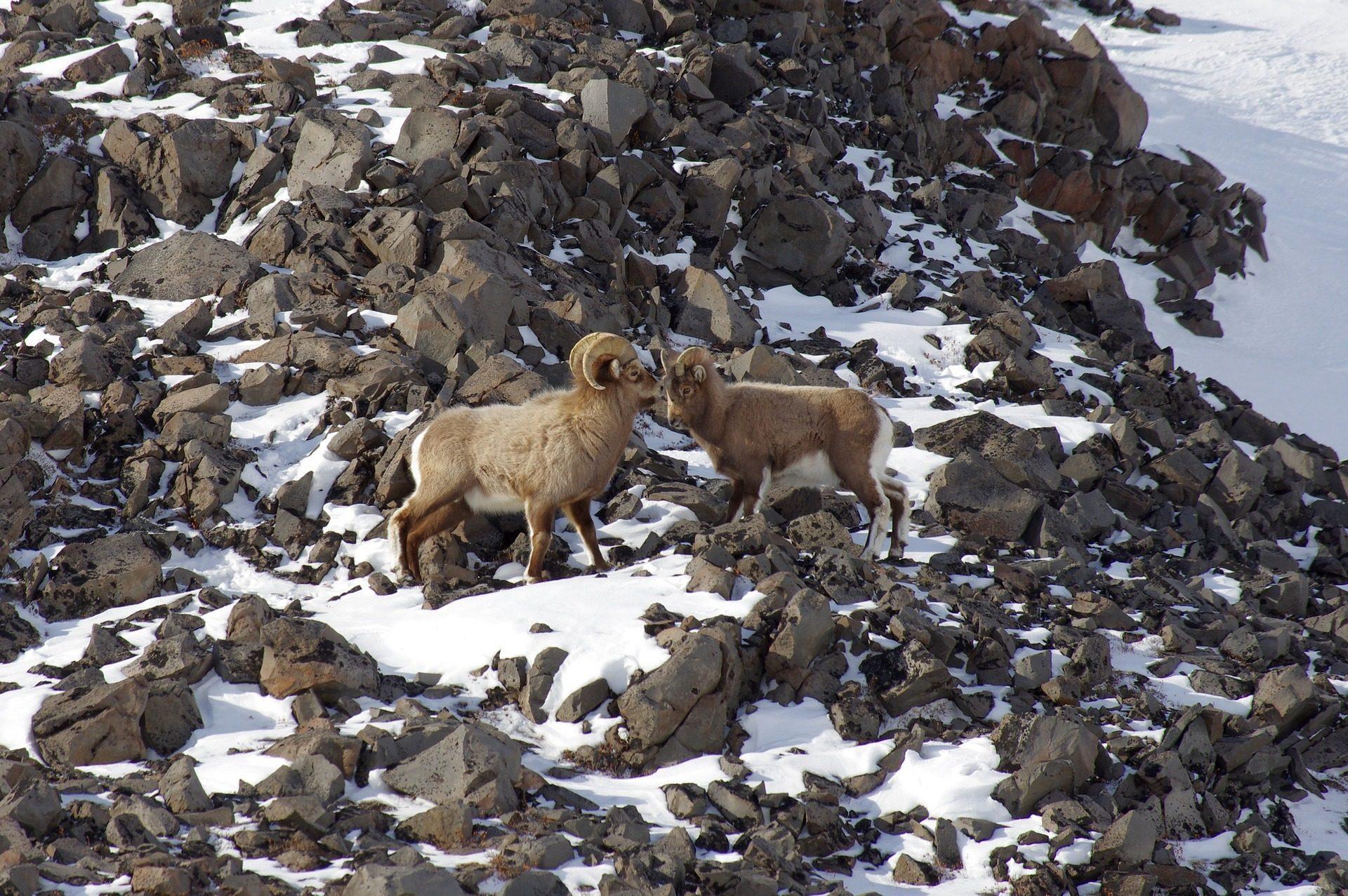 الماعز, الجبل, الأحجار, الثلج, الأبواق - خلفيات عالية الدقة - أستاذ falken.com