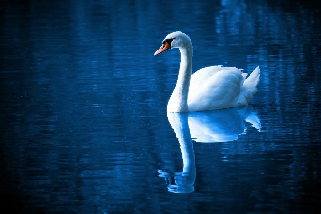 cisne, lago, ave, reflejo, majestuoso, 1708021558