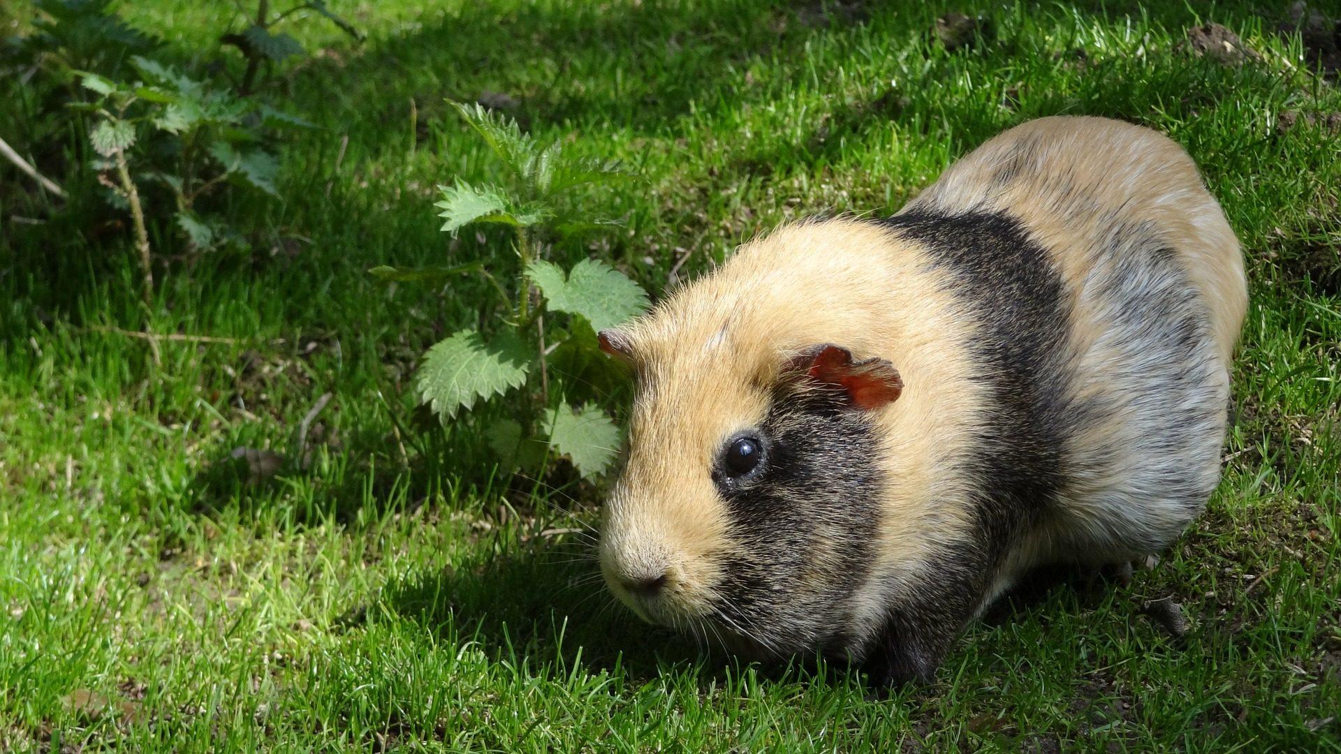 Guiné, Indian, roedor, Animal de estimação, Jardim - Papéis de parede HD - Professor-falken.com