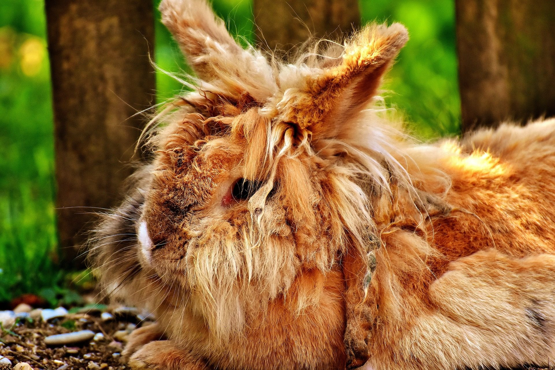 ウサギ, silvestre, 野生, 毛皮, 毛深い - HD の壁紙 - 教授-falken.com