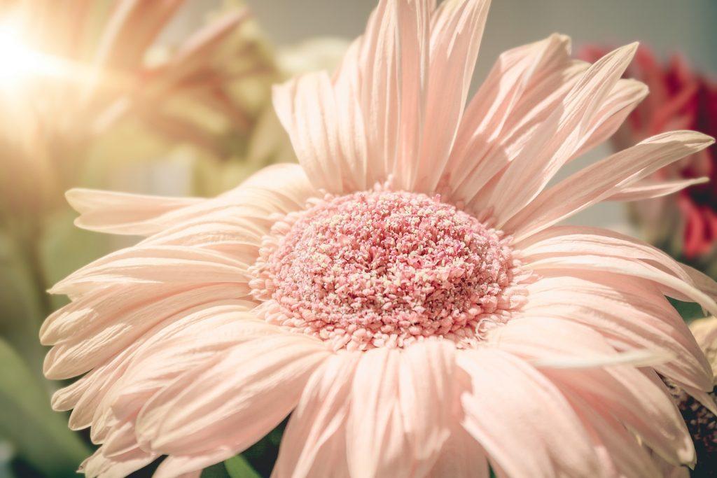 flor, rosa, pétalos, halos, de cerca, 1708111856