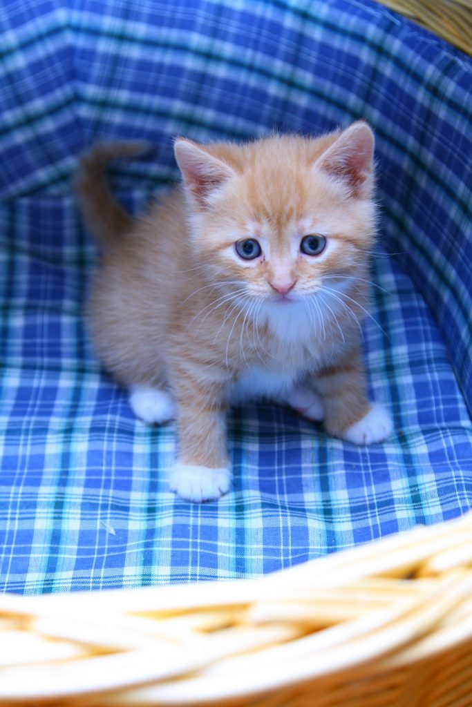 gato, cría, mascota, cesta, felino, 1708141142