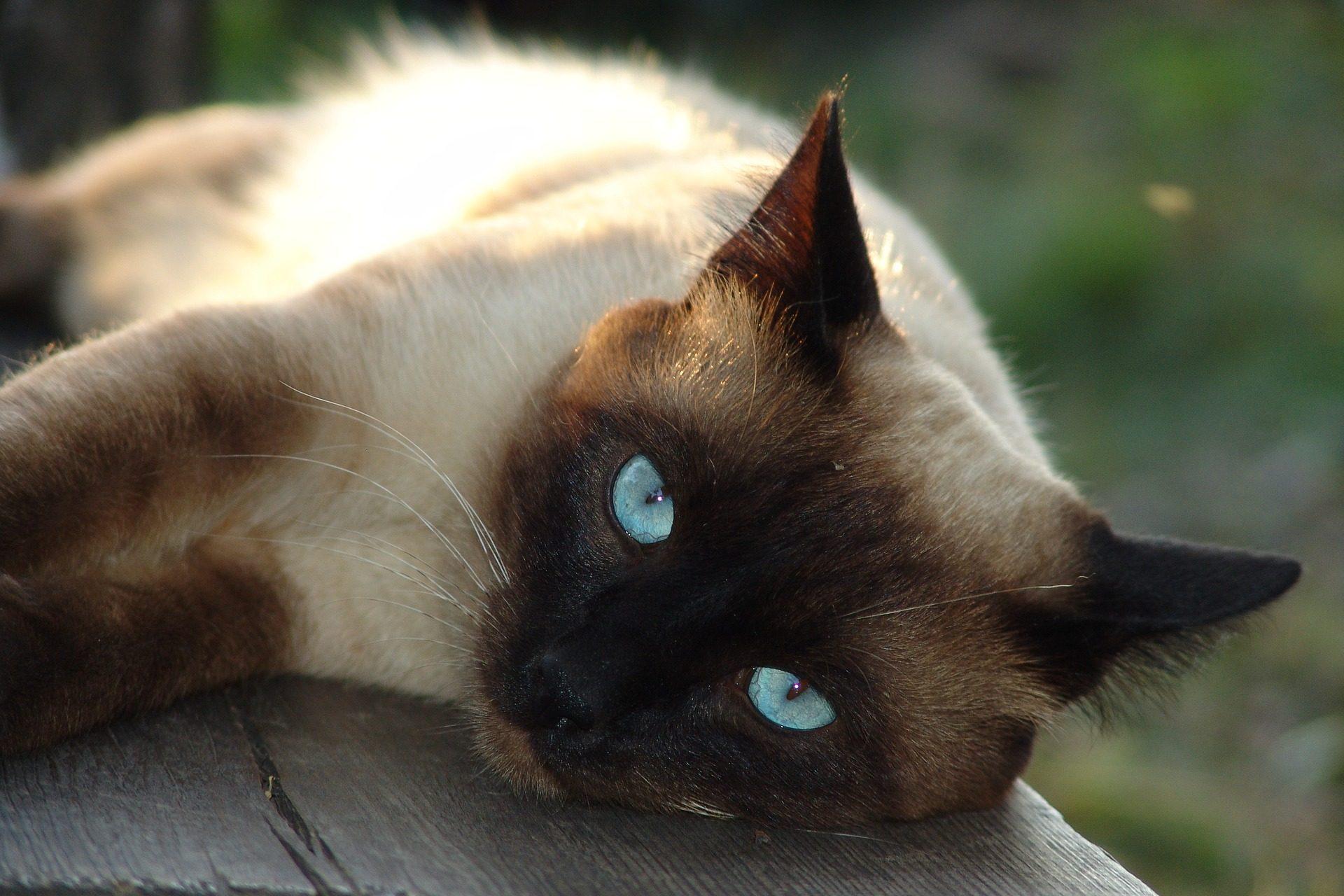 chat, Siamois, félin, Animal de compagnie, se détendre - Fonds d'écran HD - Professor-falken.com