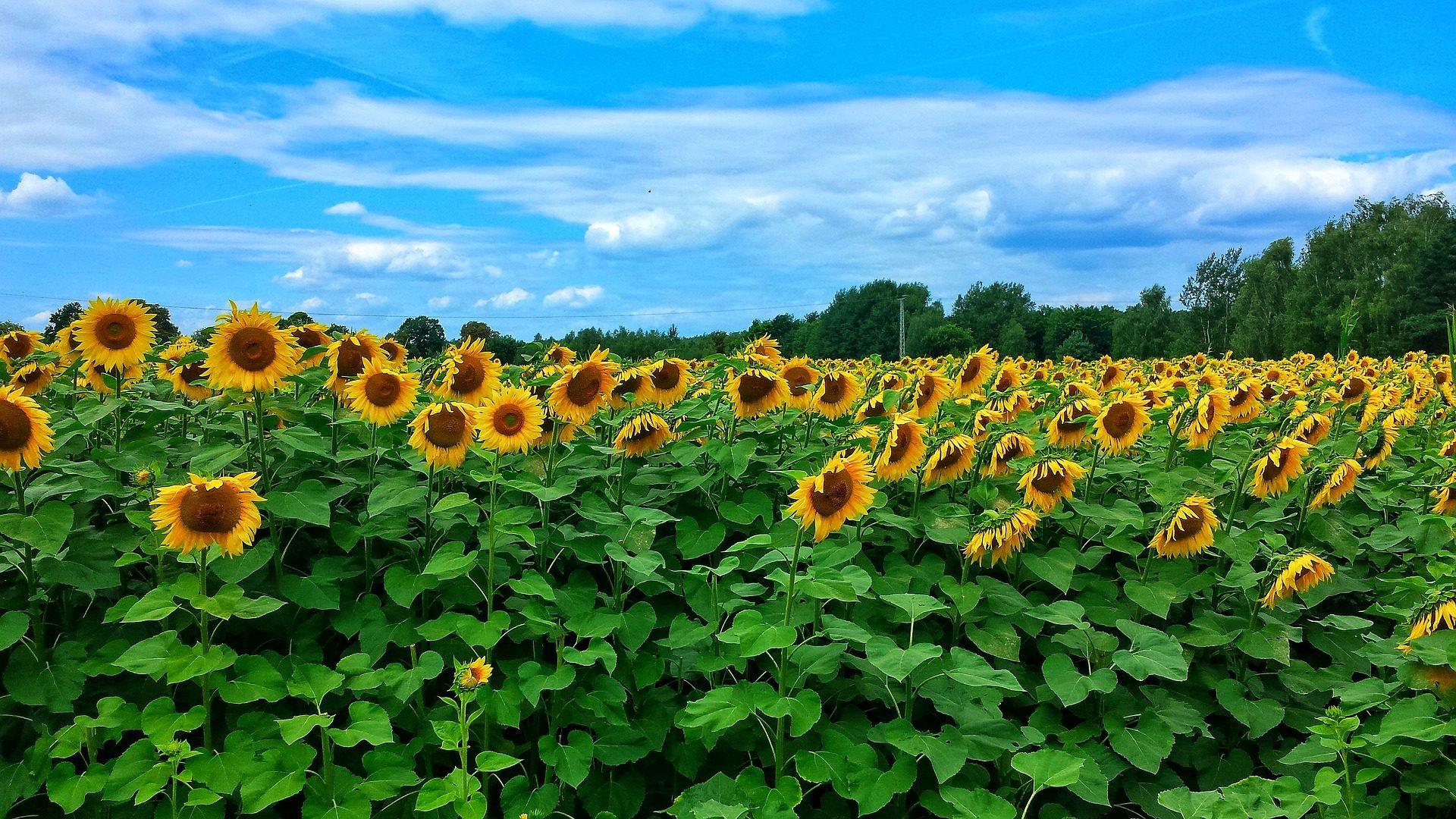 Resultado de imagem para campo de flores