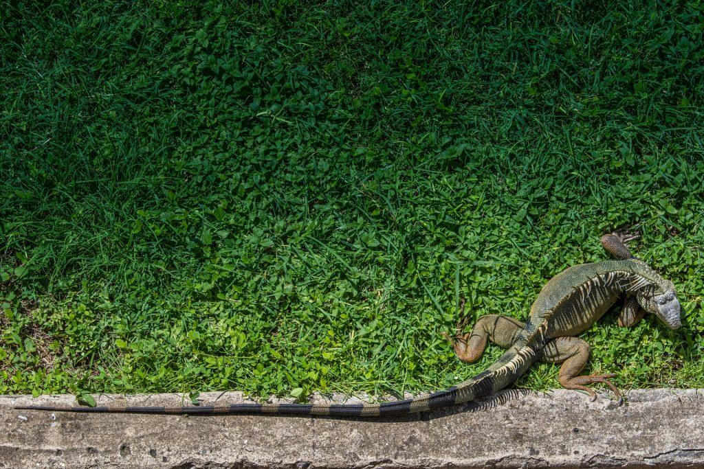 iguana, reptil, jardín, mascota, cola, 1708161552