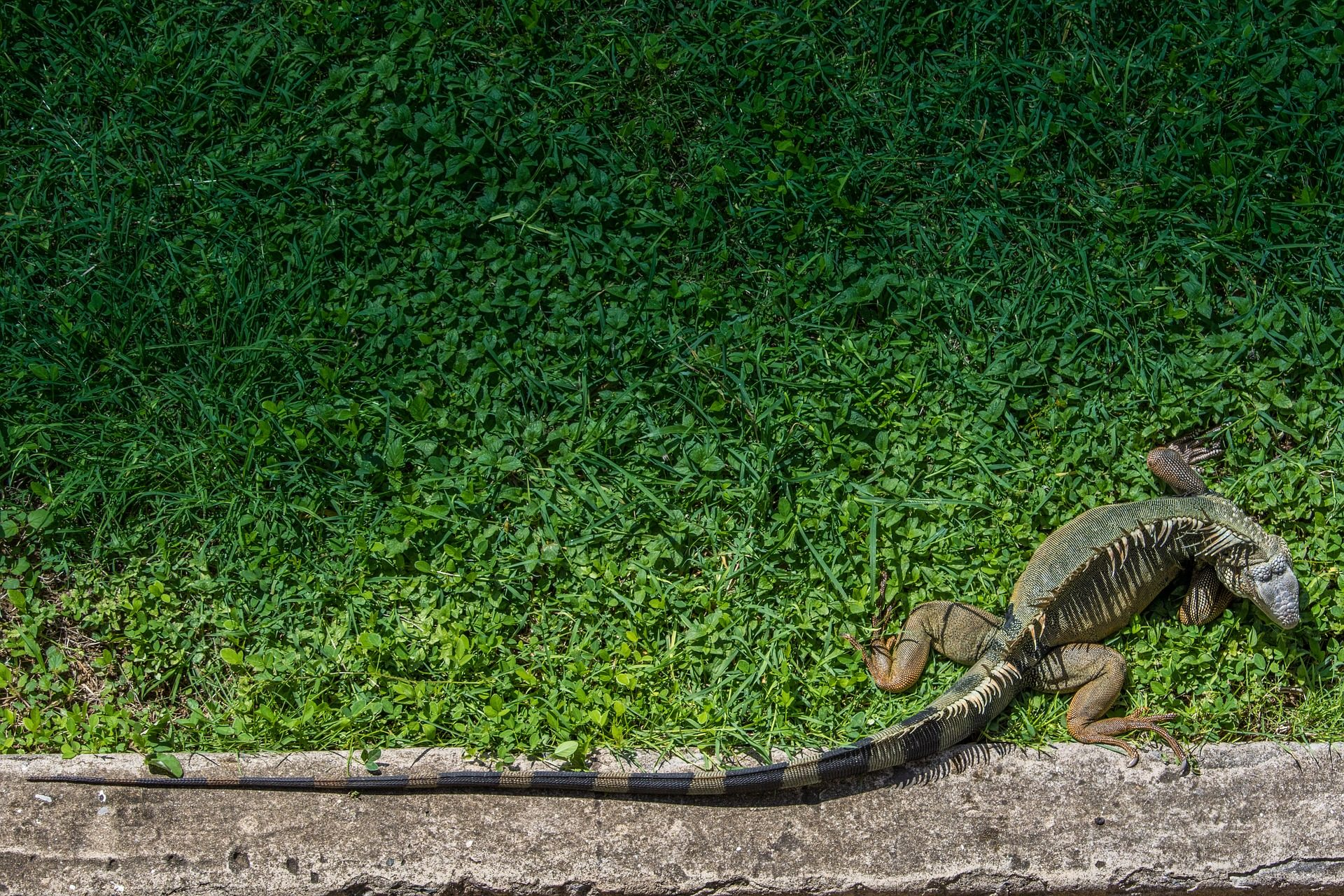 Iguane, Reptile, Jardin, Animal de compagnie, queue - Fonds d'écran HD - Professor-falken.com