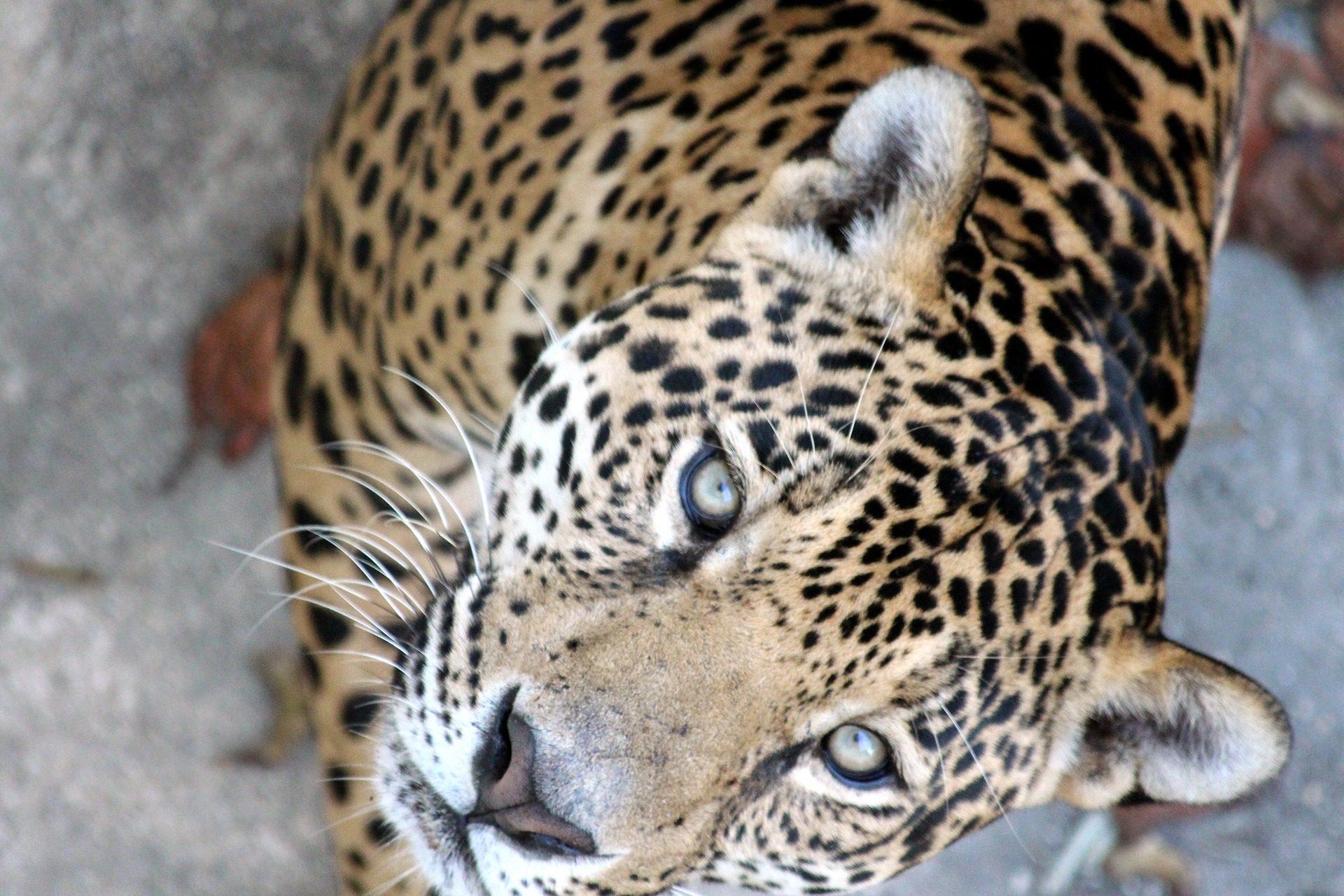 捷豹, 猫科动物, 捕食者, 野生, motas, 毛皮 - 高清壁纸 - 教授-falken.com