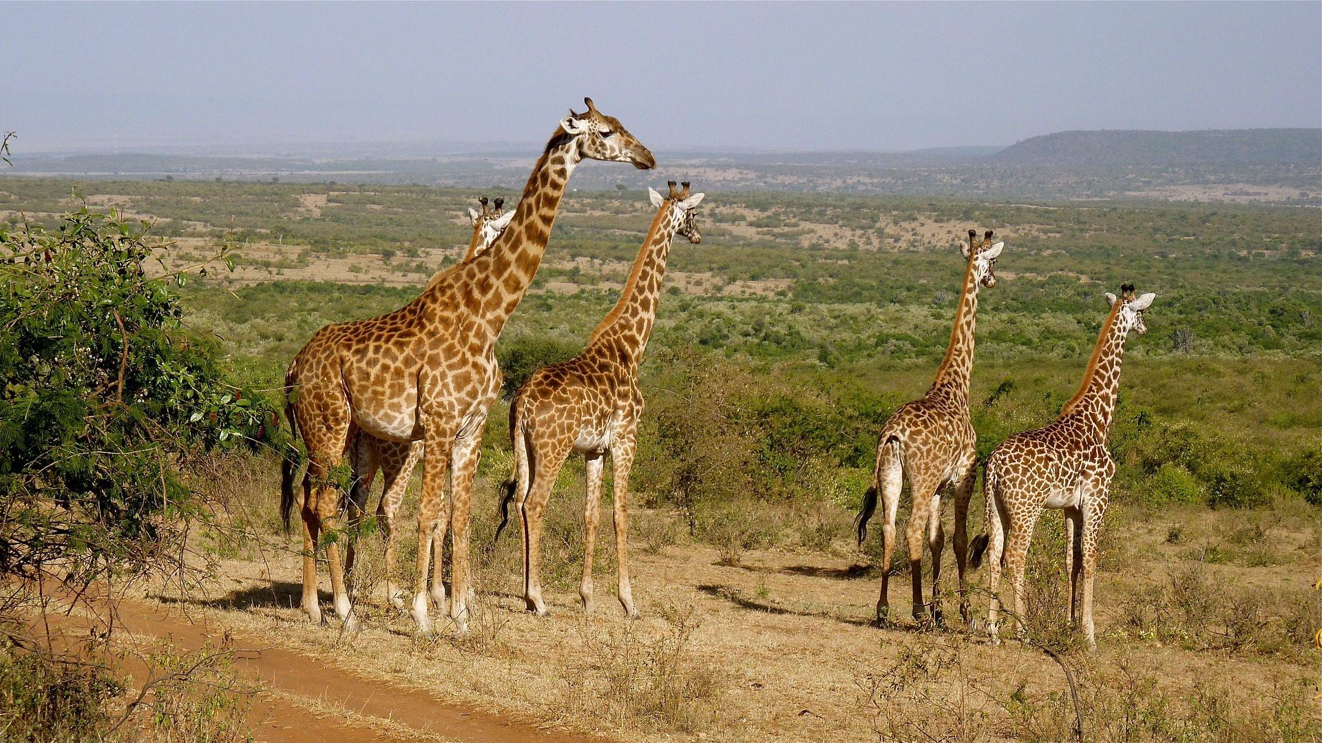Жирафы, Семья, равнина, поле, Национальный парк, Кения - Обои HD - Профессор falken.com