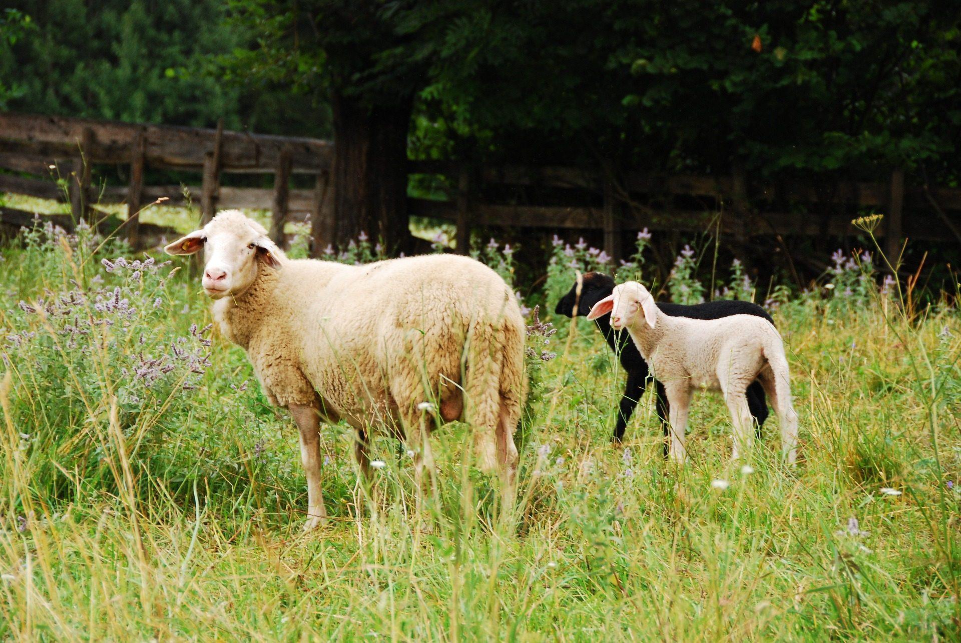 овцы, Ягнята, Молодые, ПРАДО, выпас скота, ферма - Обои HD - Профессор falken.com