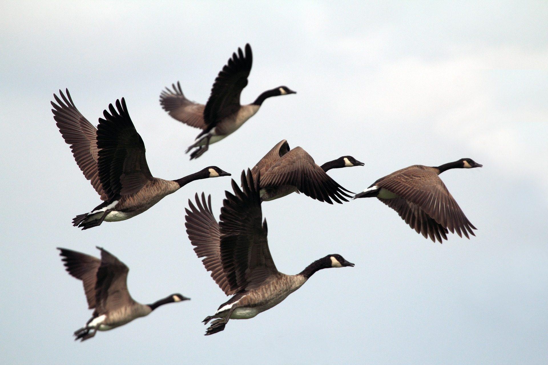 anatre, Gregge, volare, Migración, Ali, Cielo - Sfondi HD - Professor-falken.com