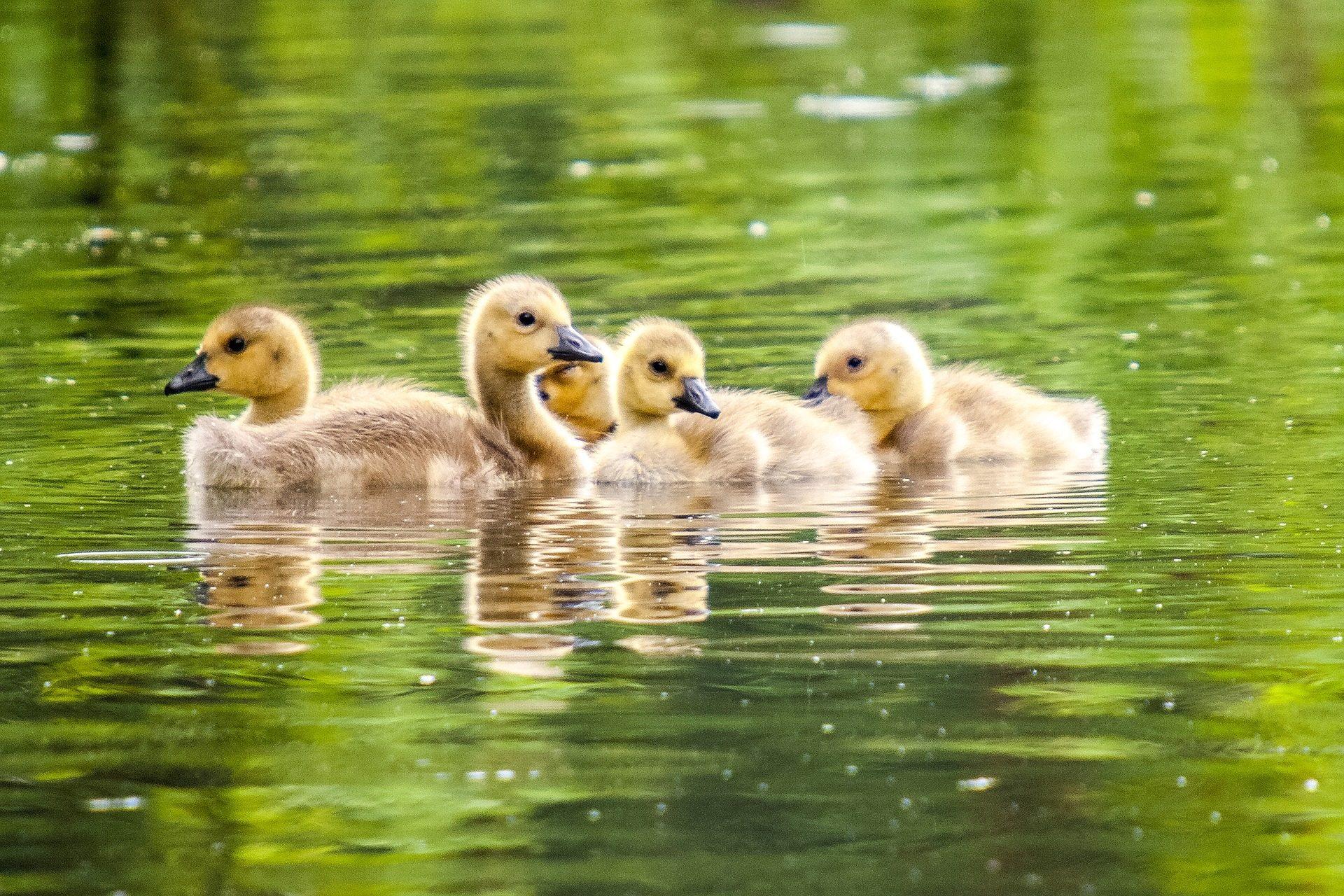 утки, молодой, пруд, Озеро, птицы - Обои HD - Профессор falken.com