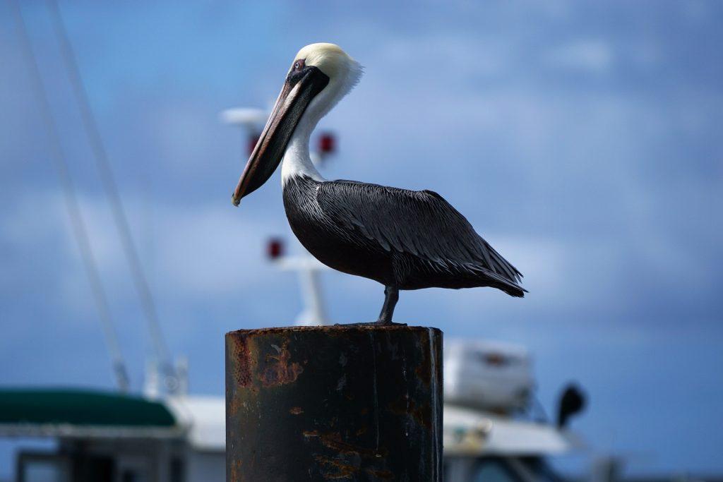 pelícano, ave, poste, puerto, barco, pájaro, 1708292018