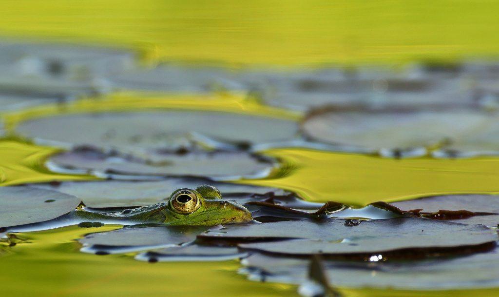 rana, lago, estanque, nenúfares, agua, ojos, 1708171406