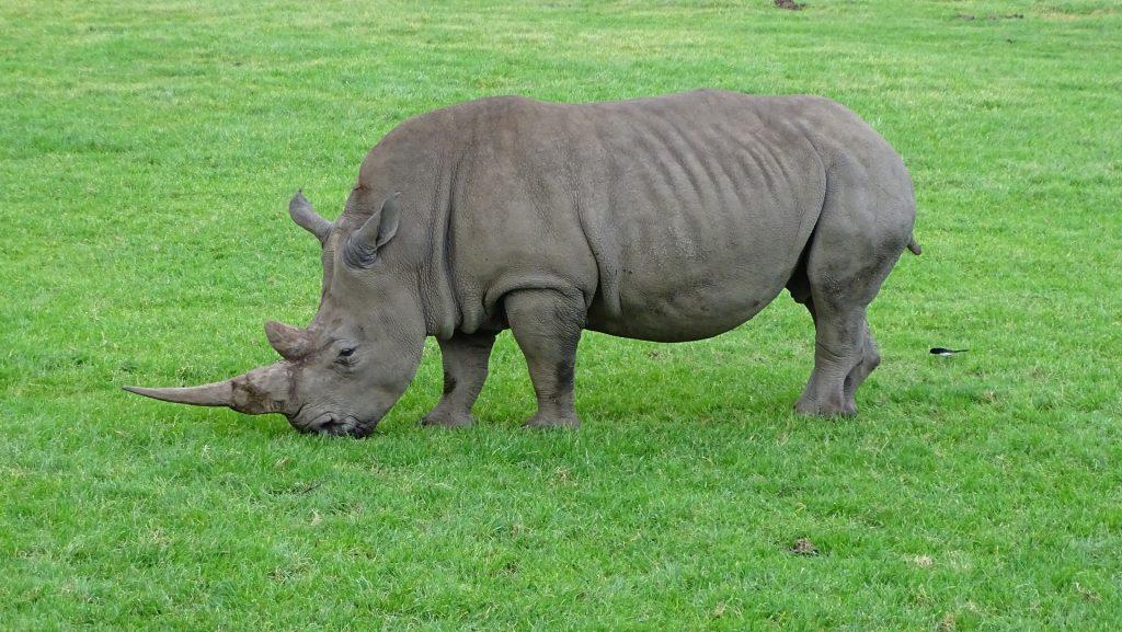rinoceronte, salvaje, cuerno, campo, peligro, 1708131829