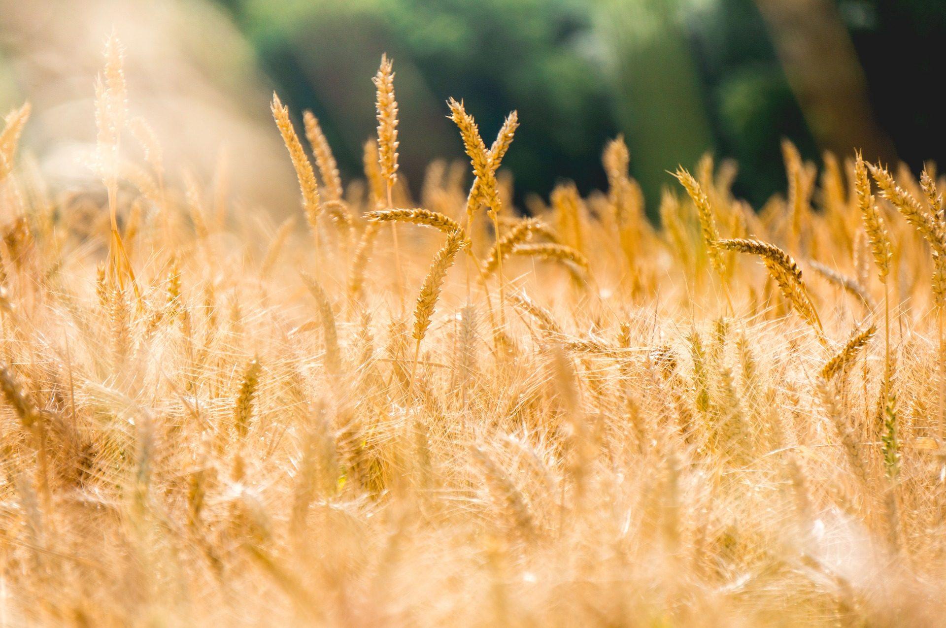 القمح, مزرعة, زراعة, والتموج, الميدان - خلفيات عالية الدقة - أستاذ falken.com