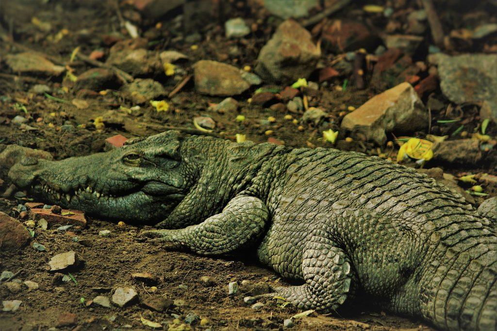 caimán, cocodrilo, reptil, escamas, piel, camuflaje, 1709202119