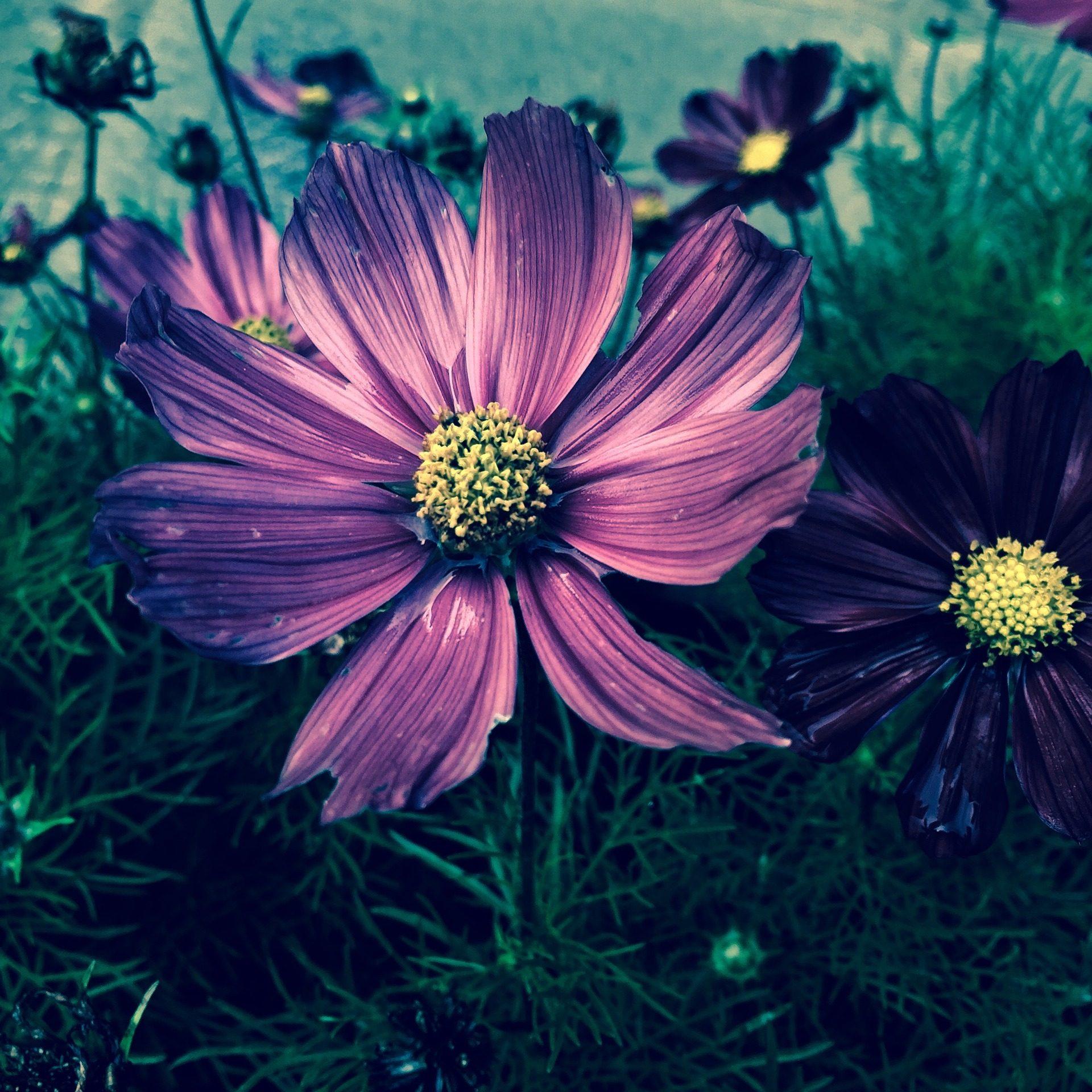 flor, pétalas, estames, Roxo, sobre, 1709211012