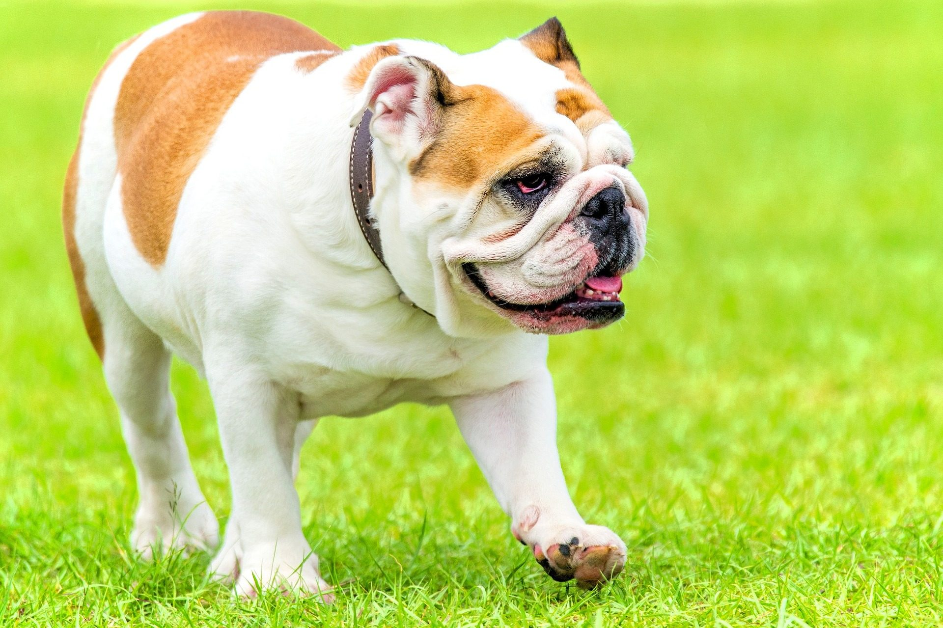 Fondo de pantalla de bulldog perro mascota jard n - Jardin para perros ...