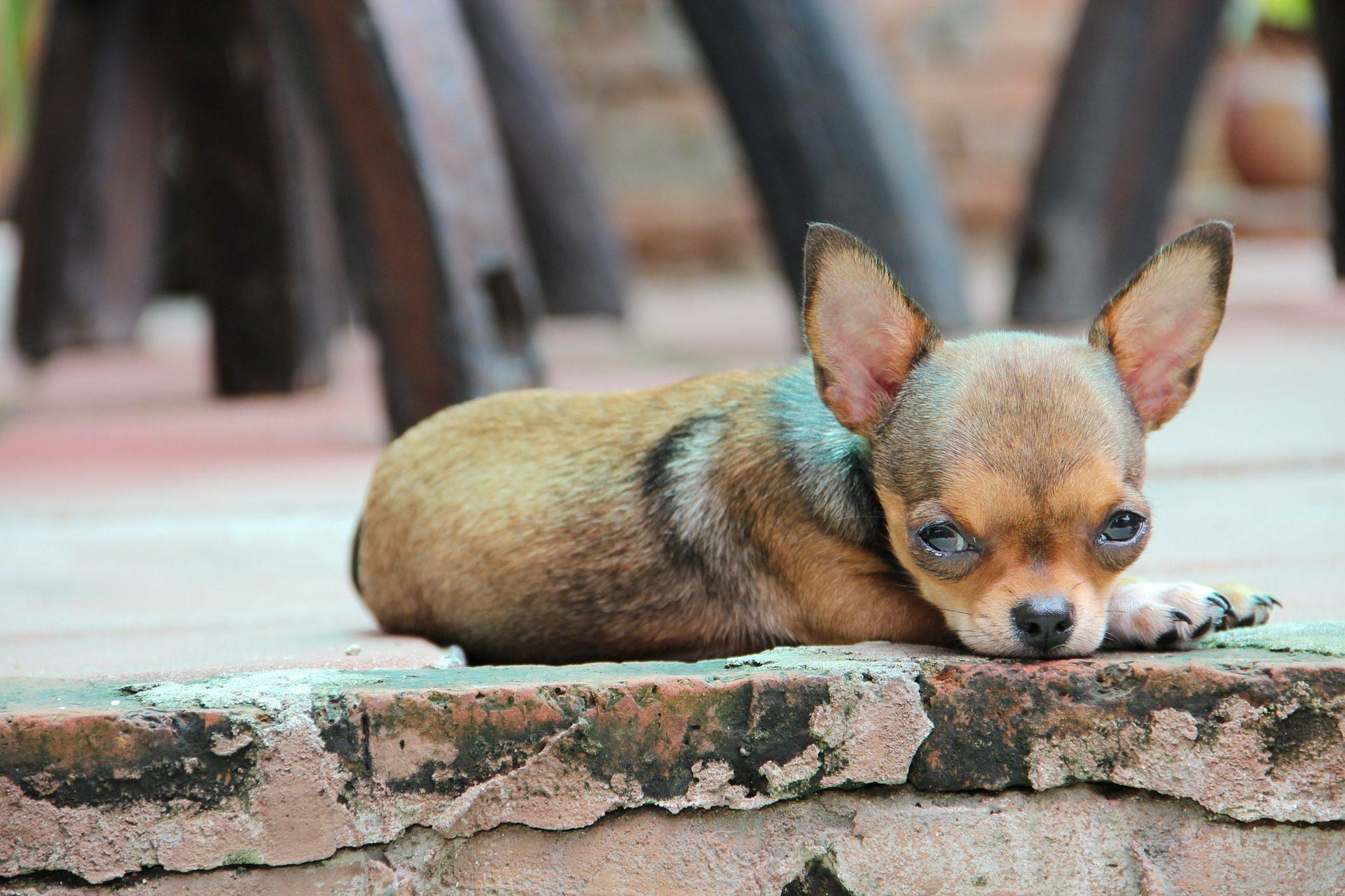 perro chihuahua fondo de - photo #18