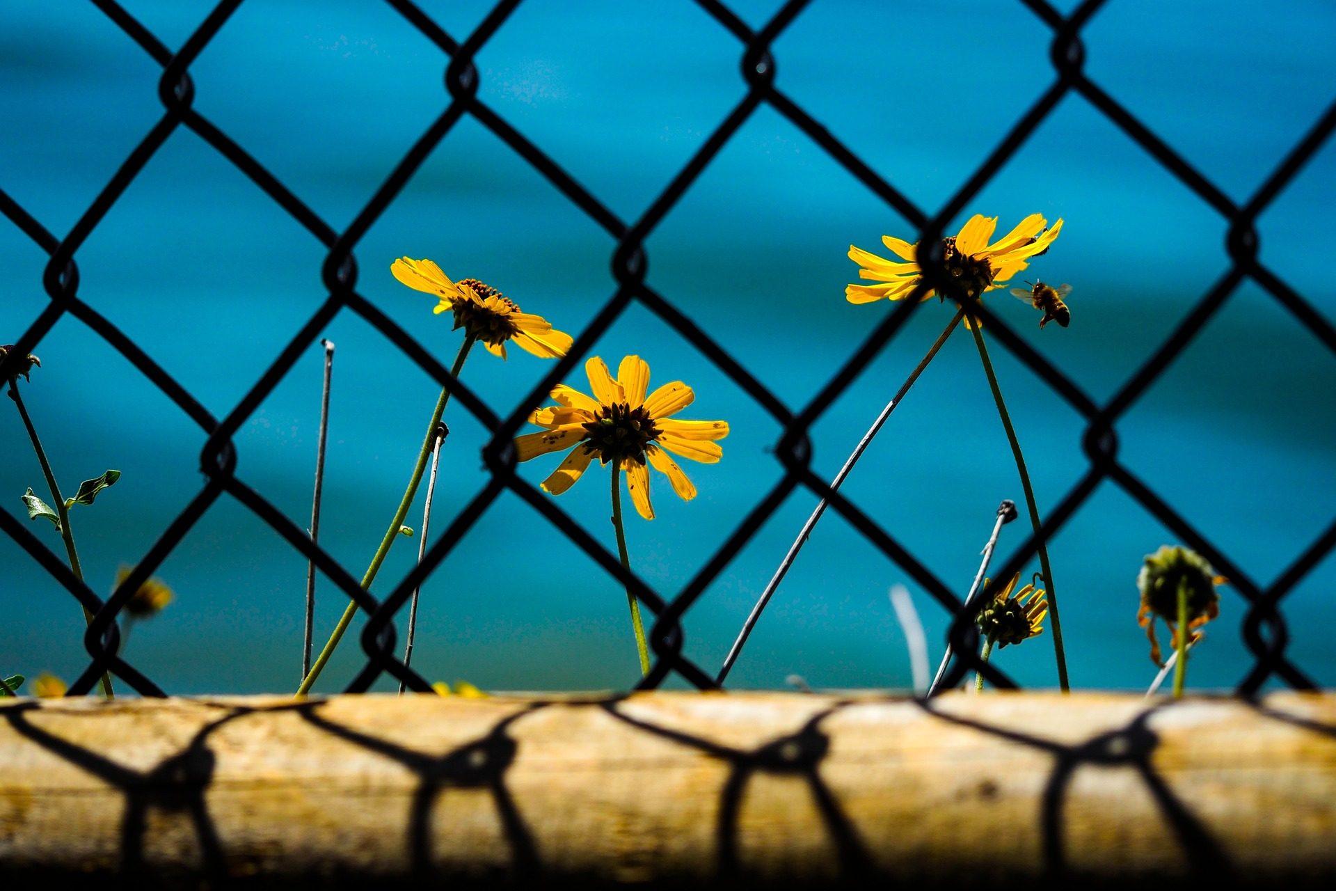 Fundo De Tela De Flores Girass 243 Is Abelha Cerca Jardim Professor Falken