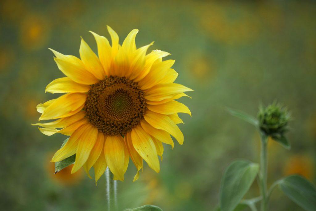 girasol, flor, planta, fruto, pétalos, 1710201358