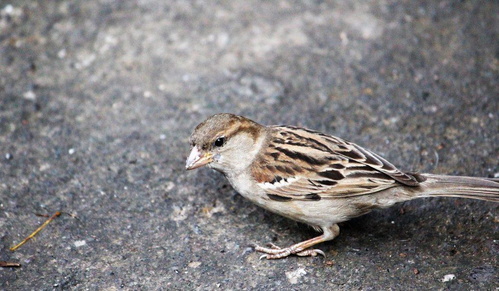 gorrión, ave, pájaro, plumaje, pico, asfalto, 1710311911
