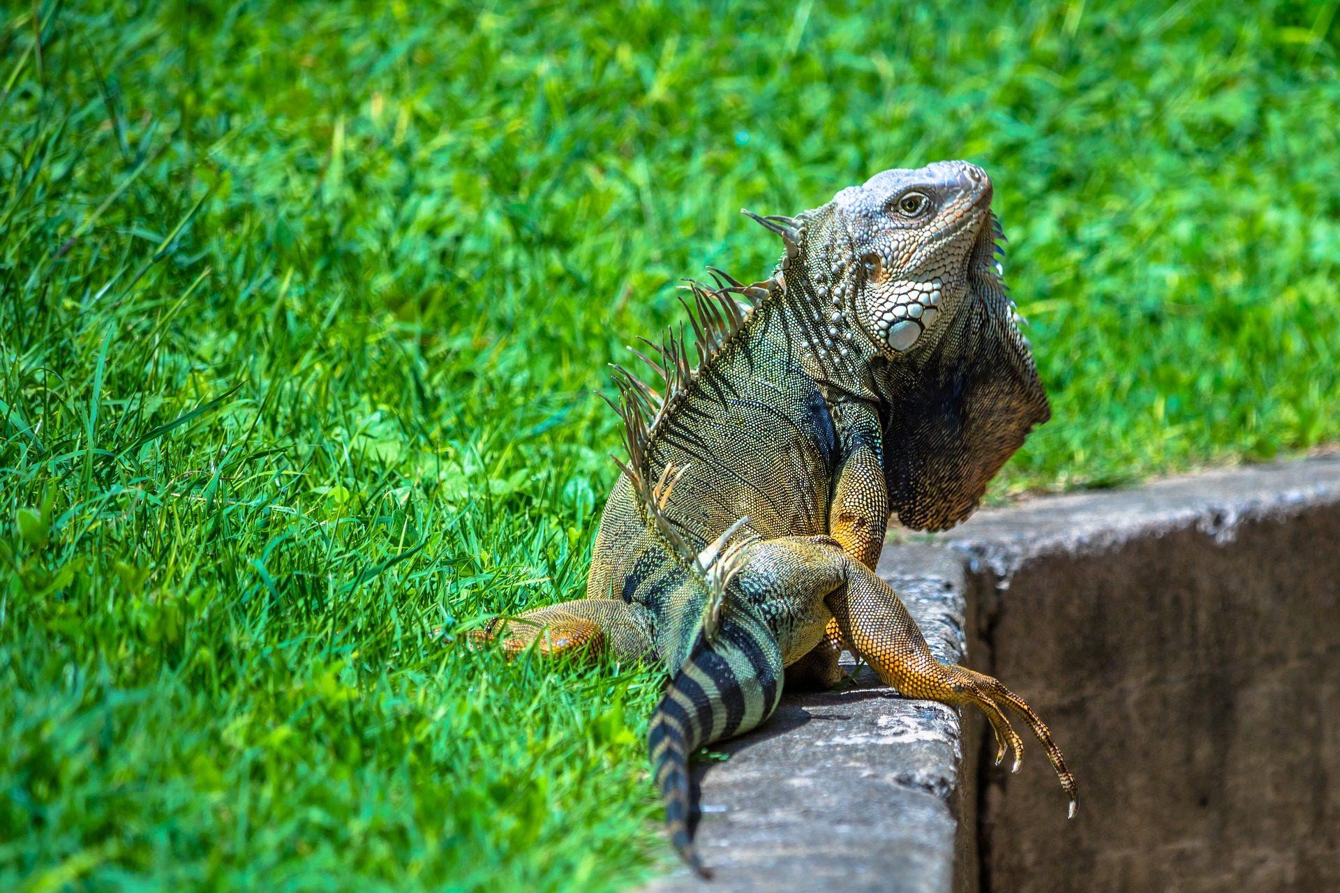 Fondo de pantalla de iguana reptil garras jard n for Hierba jardin