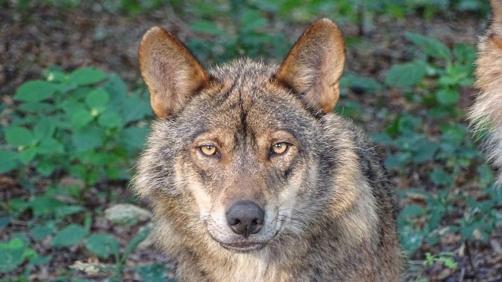lobo, ibérico, depredador, salvaje, libertad, mirada, 1710090841