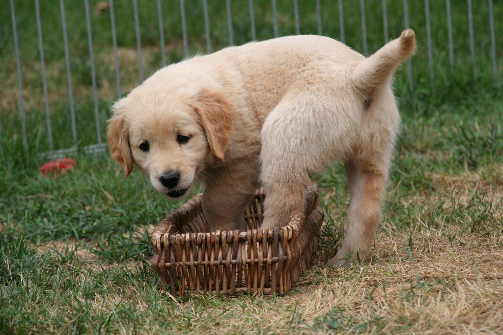 狗, 育种, 宠物, 游戏, 花园, 1710152304