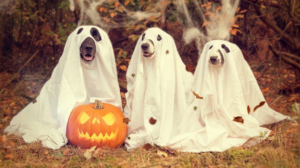 perros, disfraz, calabaza, fantasmas, halloween, 1710312308