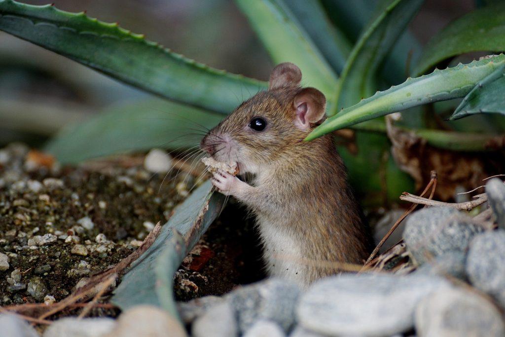鼠标, 仓鼠, 啮齿类动物, 晶须, 植物, 石头, 1710111735