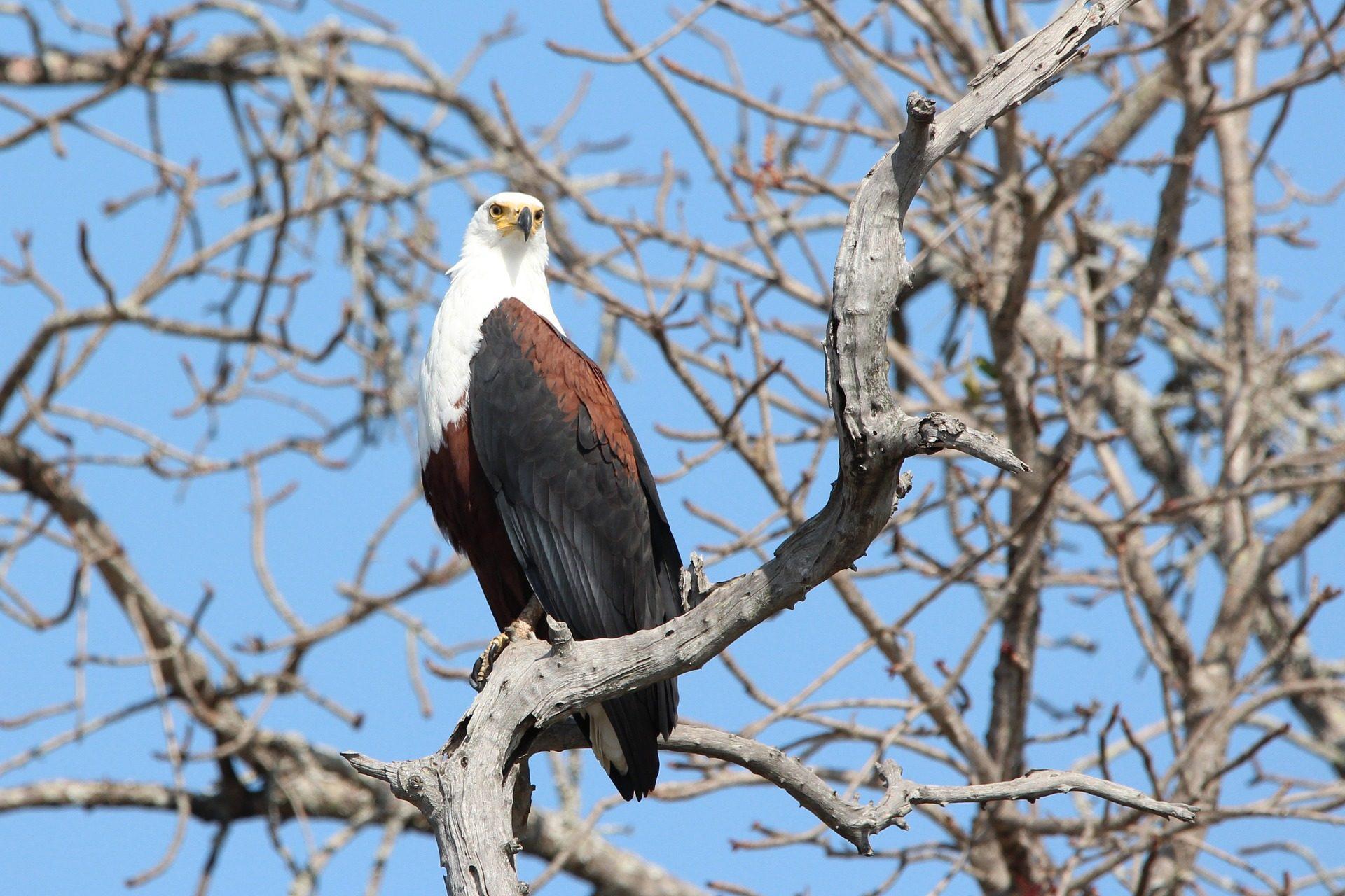 Eagle, Ave, ramo, árbol, piumaggio - Sfondi HD - Professor-falken.com