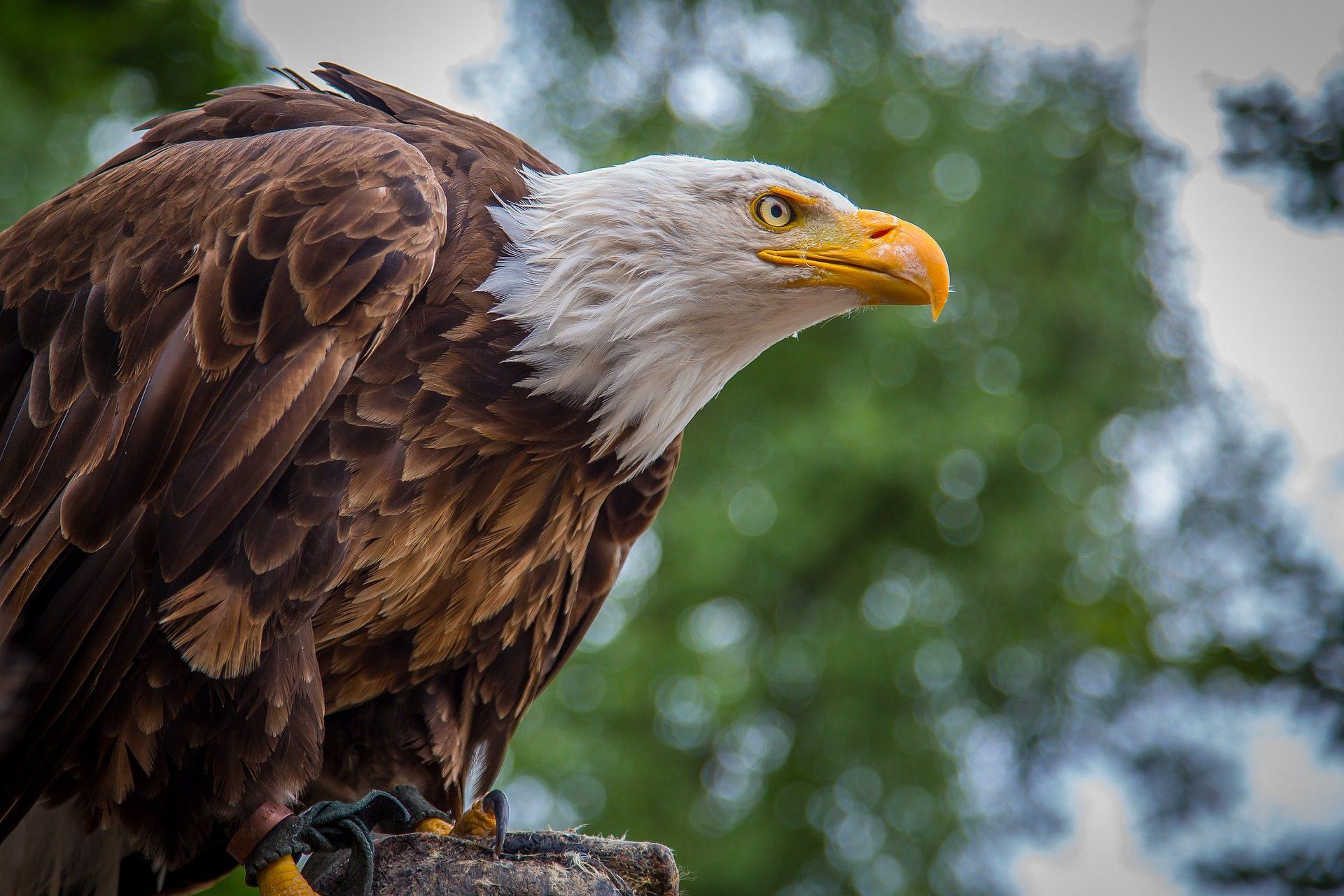 Eagle, Ave, Raptor, pico, Olha, posição, plumagem - Papéis de parede HD - Professor-falken.com