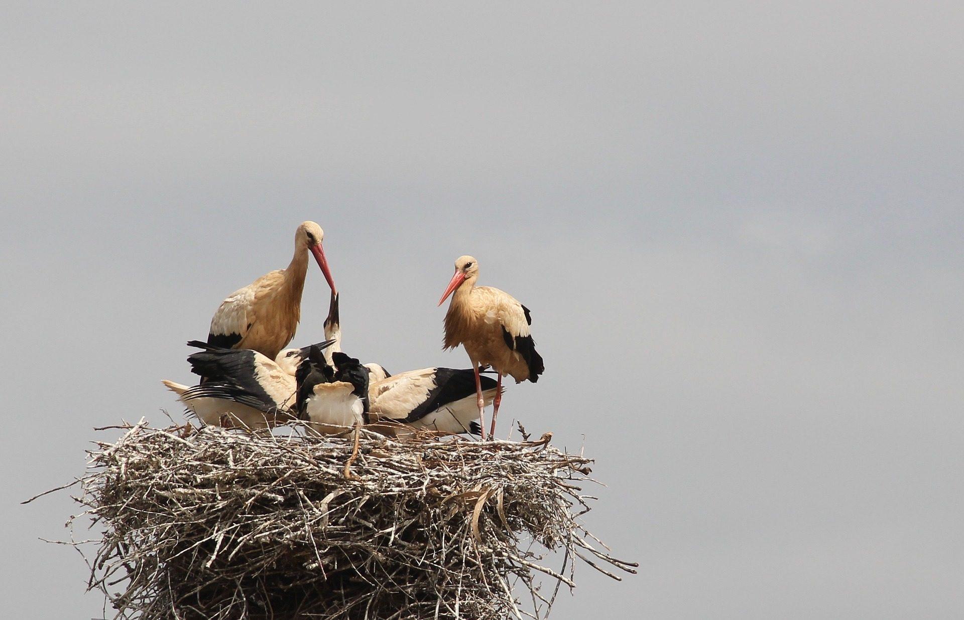 avestruces, nido, crías, alimento, aves - Fondos de Pantalla HD - professor-falken.com