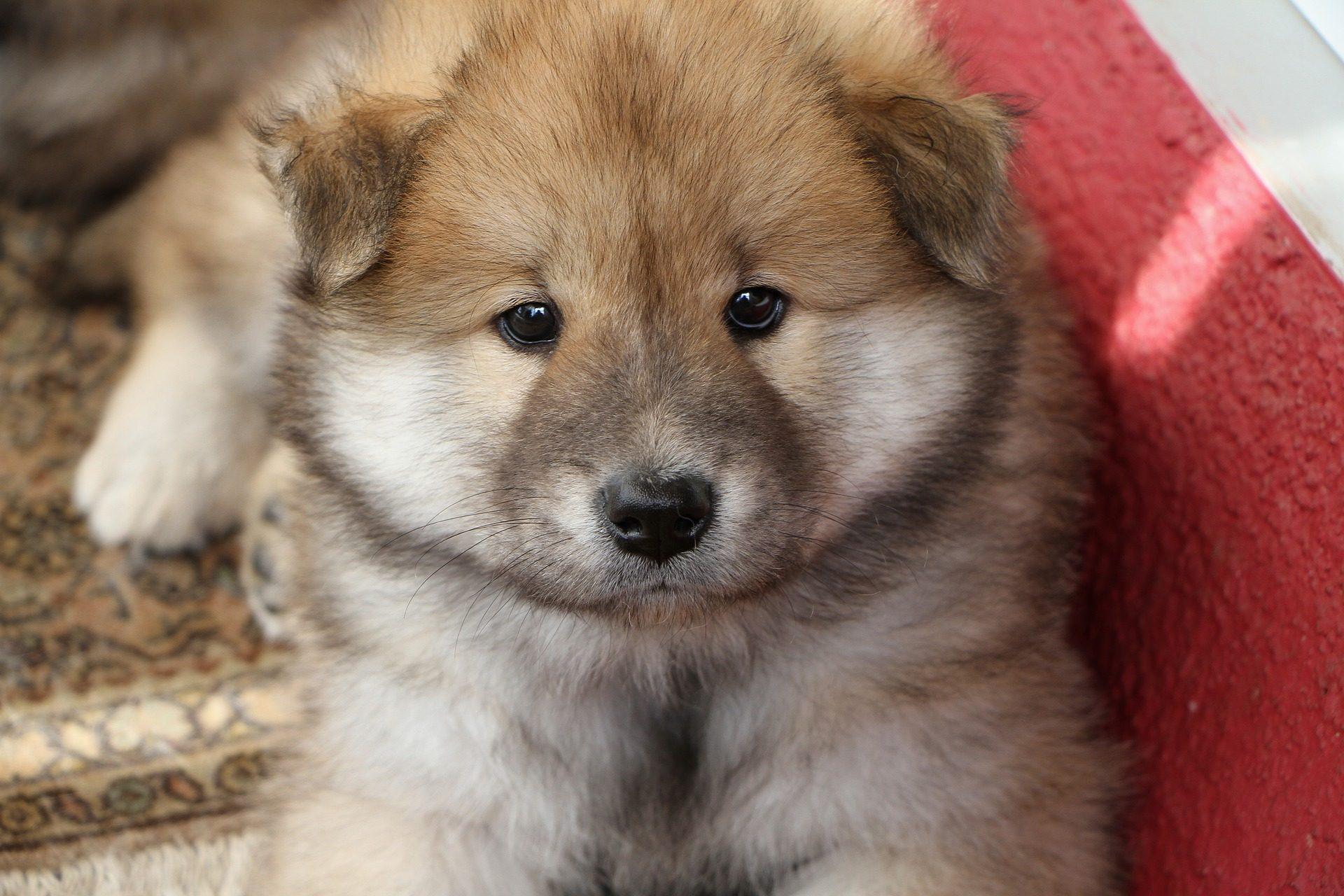 جرو, الكلب, الحيوانات الأليفة, الفراء, نظرة - خلفيات عالية الدقة - أستاذ falken.com