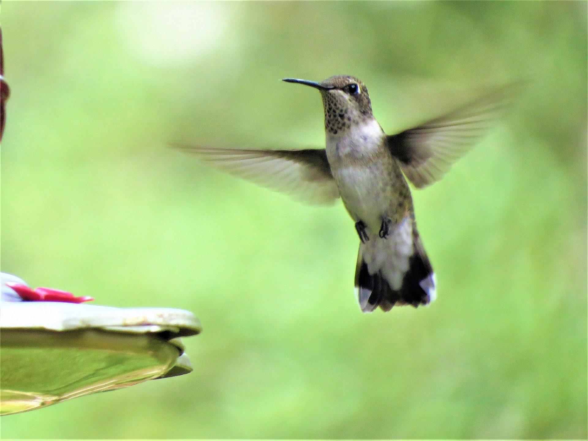 colibrí, पक्षी, Ave, aleteo, उड़ान, गति, पीक - HD वॉलपेपर - प्रोफेसर-falken.com