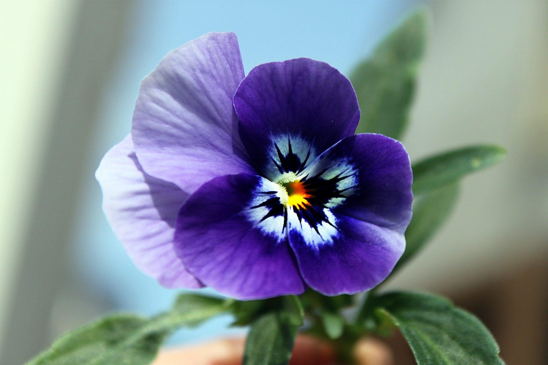 цветок, Фиолетовый, лепестки, Первый этаж, о - Обои HD - Профессор falken.com