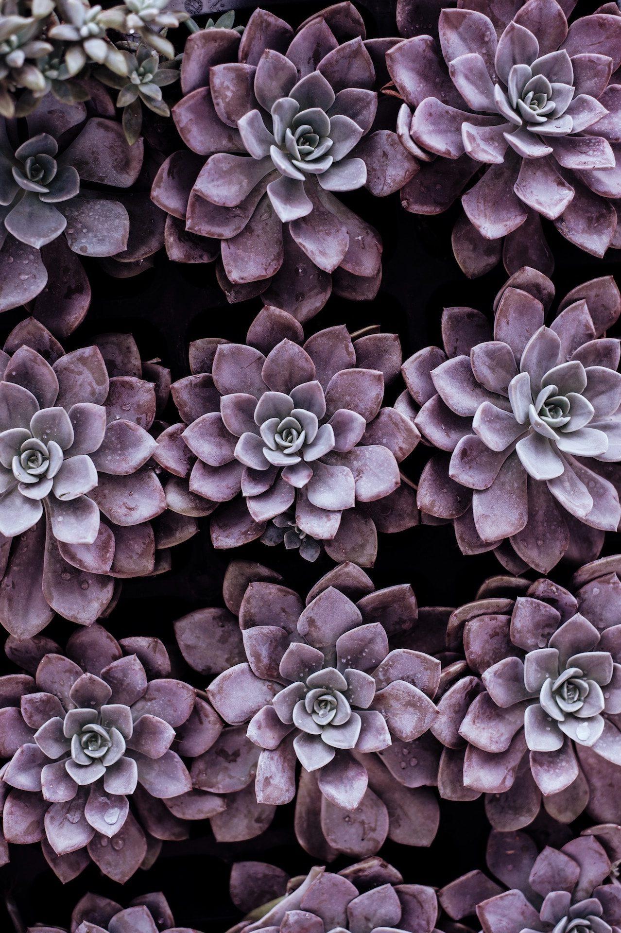 flores, plantas, moradas, jardín, geometría - Fondos de Pantalla HD - professor-falken.com