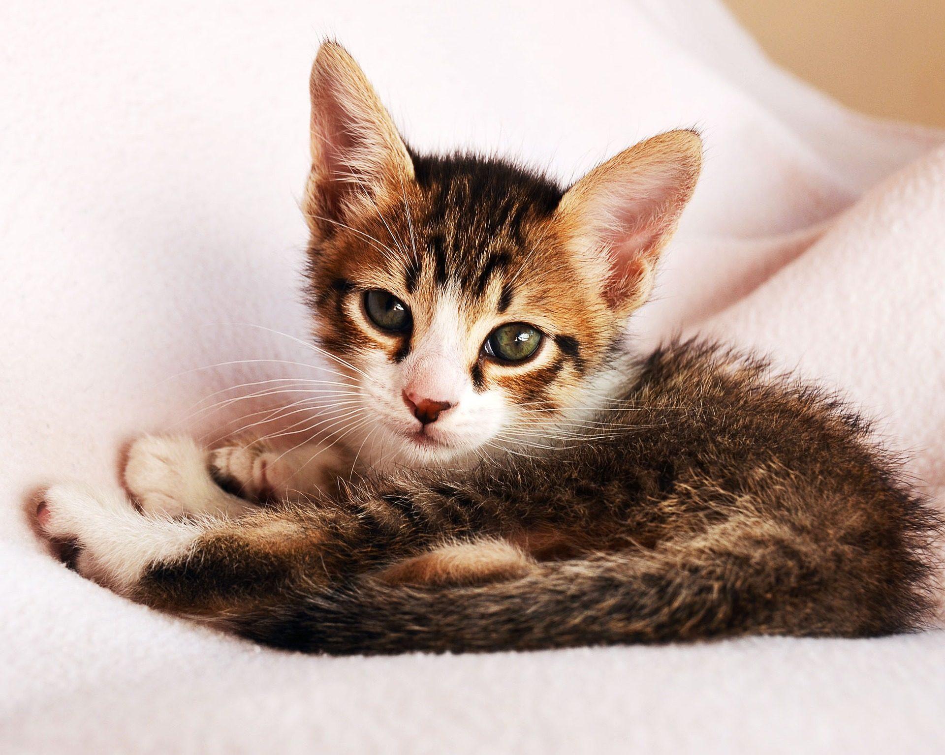 猫, 育种, 猫科动物, 宠物, 看看 - 高清壁纸 - 教授-falken.com