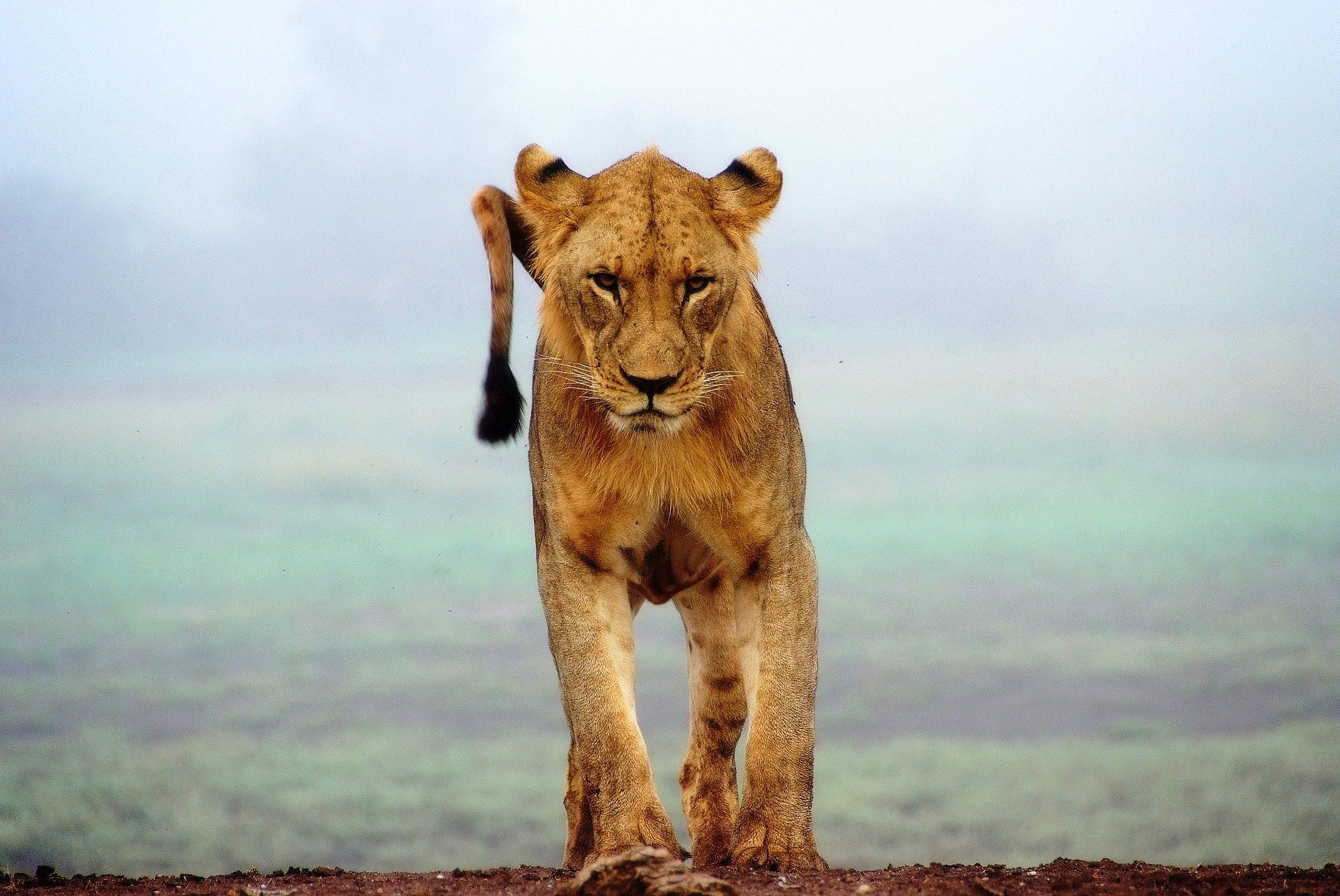 leon, cría, felino, depredador, salvaje - Fondos de Pantalla HD - professor-falken.com