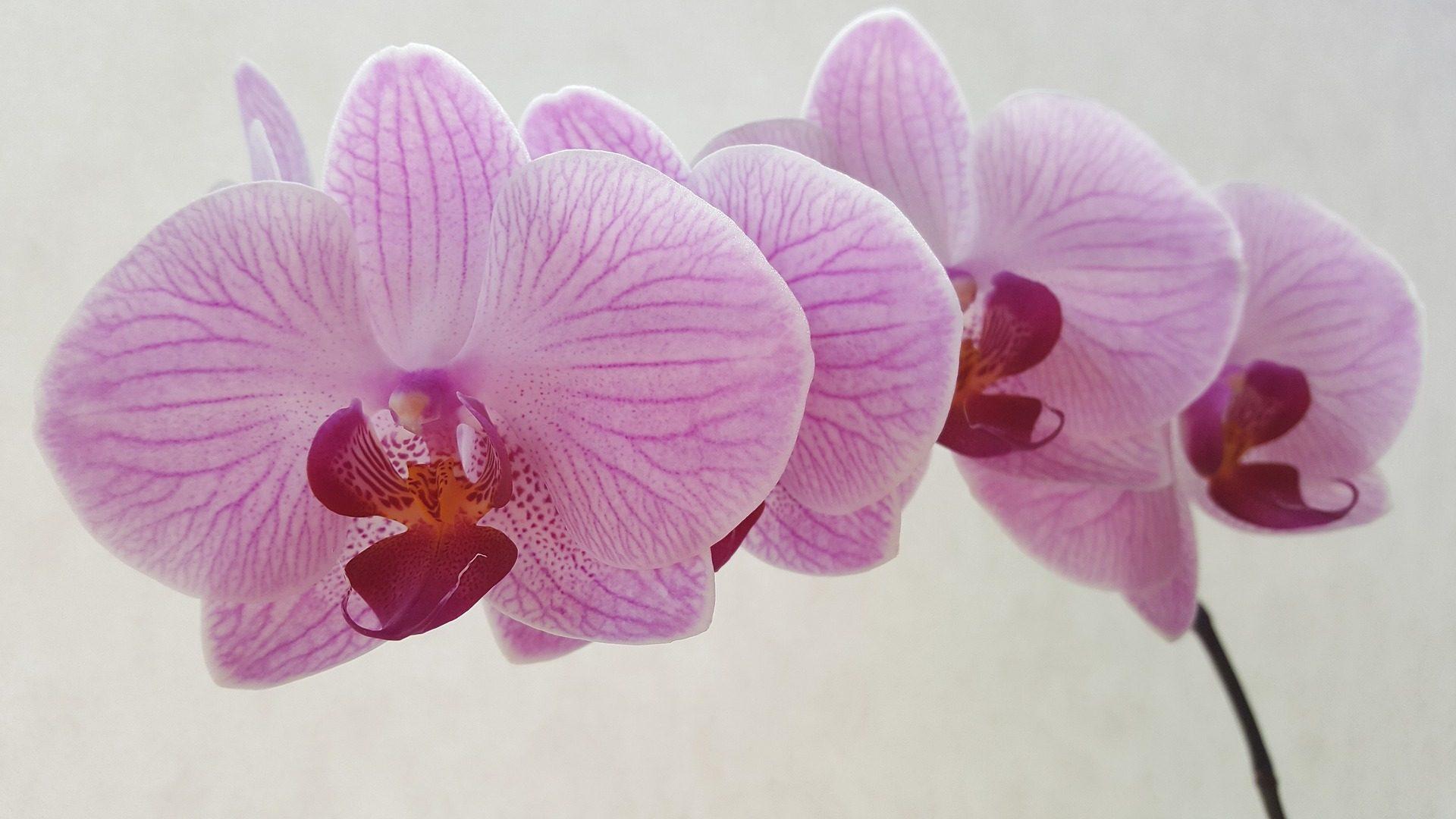 orquídeas, flores, haste, Rosa, sobre - Papéis de parede HD - Professor-falken.com