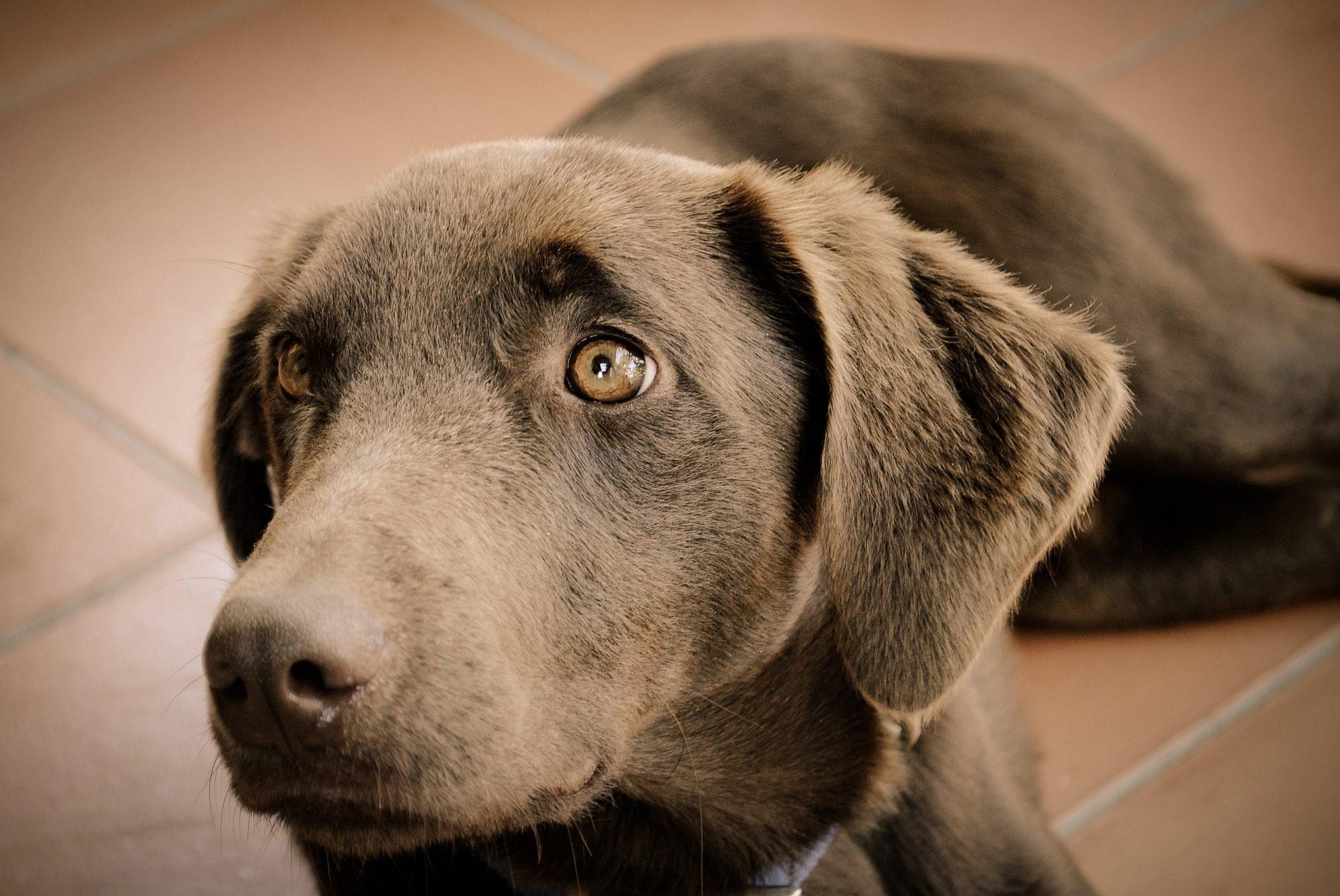 perro, cachorro, mascota, amigo, mirada, pelaje - Fondos de Pantalla HD - professor-falken.com